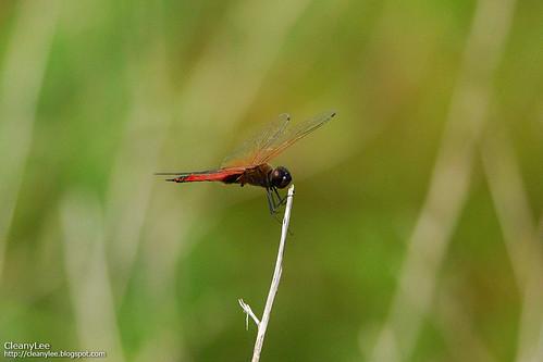 31501 海霸蜻蜓: 粗斑亞種 (Ocean Glider: Large-marked ssp.) Tramea transmarina propinqua