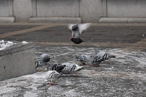 Pigeon Food Fight