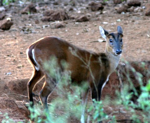 muntjac or barking deer 040108