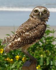 ILha do Mel (jcfilizola) Tags: ilhadomel owl coruja