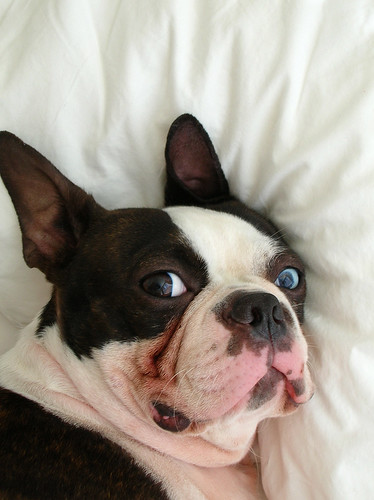 who else has bostons w 2 different color eyes boston terriers