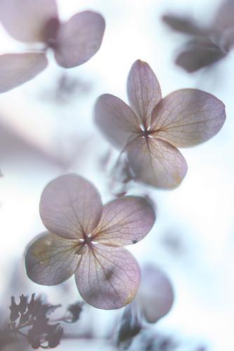 hydrangea #3