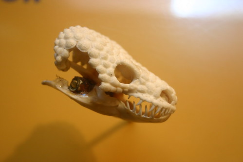 Gila Monster skull in profile