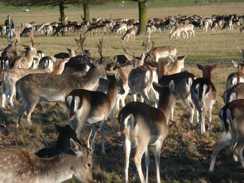 Deer In Richmond Park,London