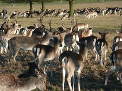 Deer In Richmond Park,London