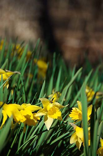 daffodils_eno