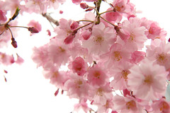 sakura blossoms up close (kozyndan) Tags: park flowers trees japan tokyo blossoms april sakura cherryblossoms rappongi tokyomidtown