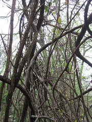 Tangle of Vines in the Old Forest