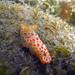 Gymnodoris