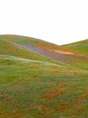 Tejon pass at Gorman on I-5 (Emma Paperclip) Tags: poppies wildflowers cb phacelia gorman interstate5 californiapoppies tejonpass losangelescounty popcornflower californiahills naturesfinest californianativewildflowers naturescall kcp masterphotos cmwd cmwdgreen