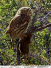 Chuncho en acción (FeñyZ) Tags: patagonia aves torresdelpaine caza rata magallanes calafate natales parquenacional chuncho aveaustral