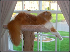 Toby (iwork4toby) Tags: red toby cat relax persian interestingness persiancat redpersian luv2explore