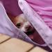 チワワ:Chihuahua_23