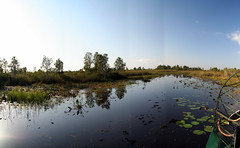 Into the everglades (JoelDeluxe) Tags: green florida reptile alligator surface deer cattails wetlands everglades waters fl marsh joeldeluxe waterbirds ecosystem egrets loxahatchee nutrients loxahatcheenationalwildliferefuge