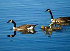 From This Morning's Walk , Family Life on Lake Decatur (Sally Van Natta) Tags: morning reflections goslings canadageese naturesfinest salvan specanimal mywinners abigfave lakedecatur impressedbeauty aplusphoto megashot overtheexcellence theperfectphotographer