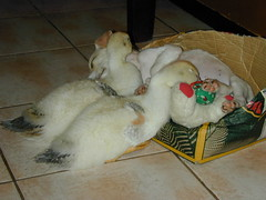 Donald and Daisy sleeping on Doogle