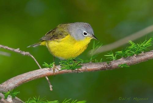 nashville-warbler-1