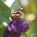 Bee on Buddleja 1