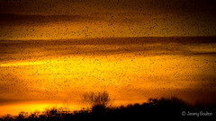 Coming Home to Roost (JKmedia) Tags: ham rspb glastonbury somerset starlings roost sunset late end boultonphotography 2017 yellow orange landscape tree silhouette birds flock avian fill sky levels 15challengeswinner