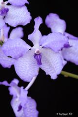 Vanda coerulea 'D Gem' (Dylan's Orchids) Tags: vanda coerulea d gem