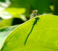 Waterjuffer (ellab3) Tags: nature insect groen nederland natuur insects blad nederlands waterjuffer voorjaar nld supershot