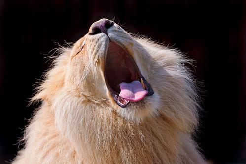 [フリー画像] 動物, 哺乳類, ライオン, ホワイトライオン, 欠伸・あくび, 口を開ける, 201105251100