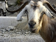 island GOAT FACE control (dimitra_milaiou) Tags: life summer nature animal stone hair island greek grey one 1 europe village sony hellas greece summertime andros cyclades dimitra hellenic batsi dscp93a  aigaio    milaiou