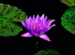 Water Lily (Larry Moran) Tags: background noisereduction dfine20