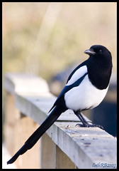 Magpie (CathRB) Tags: white black bird washington wetlands magpie soe wwt elegance naturesfinest blueribbonwinner shieldofexcellence superhearts