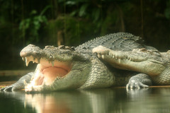 lean on me (M3R) Tags: water animal zoo singapore couple teeth alligator canon400d canonef70200mmf4lisusm photofaceoffwinner photofaceoffplatinum pfoplatinum mariaismawi gapjuly10
