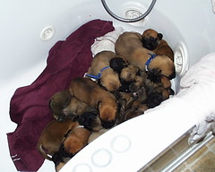 11 Mastiff Puppies in A Tub (muslovedogs) Tags: dogs puppy mastiff excalibur myladyoffspring
