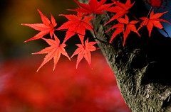 (nobuflickr) Tags: nature japan kyoto autumncolors naturesfinest blueribbonwinner supershot abigfave anawesomeshot diamondclassphotographer flickrdiamond ysplix brillianteyejewel theperfectphotographer top20vivid bisyamondotemple