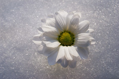 Snow Queen (Dragan*) Tags: christmas xmas flowers winter white snow flower yellow whiteflower serbia feliznatal daisy marguerite belgrade happyholidays merrychristmas chrysanthemum beograd happynewyear christmasgraphic xmaspictures feliznavidad srbija 聖誕節 christmaspics christmaspictures christmasimages cvet christmaswallpaper joyeuxnoël froehlicheweihnachten buonefestenatalizie tašmajdan dragantodorovic београд tasmajdan christmaswallpapers bestofwinter glitterchristmas merryxmass merrychristmaspictures lovelychristmas merrychristmaspics freechristmaspics