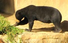 Sun Bear (Sheila in Moonducks) Tags: zoo sandiego takeabow flickrsbest abigfave platinumphoto coolestphotographers