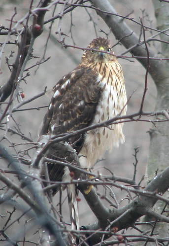Hawk in the tree outside my window