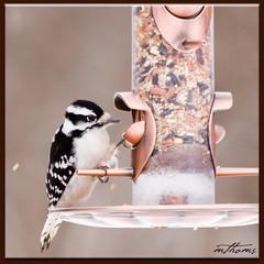 Maybe I can dig it out (Kadacat (Marlene)) Tags: winter birds downywoodpecker avian naturesfinest canon30d shirleysbay mywinners anawesomeshot diamondclassphotographer kadacat
