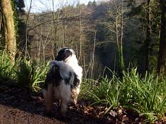 Rocky looking over the leigh woods valley (dandavie) Tags: dog tibetanterrier terrier valley tibetan leighwoods