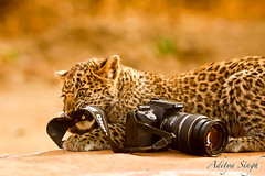 Canon as wildlife sees it - 2 (dickysingh) Tags: india nature canon eos outdoor wildlife leopard aditya predator leopardcub ranthambore singh ranthambhore dicky naturesfinest pantherapardus supershot outdoot naturesgallery mywinners superbmasterpiece diamondclassphotographer lmaoanimalphotoaward bfgreatesthits adityasingh dickysingh ranthamborebagh theranthambhorebagh alemdagqualityonlyclub