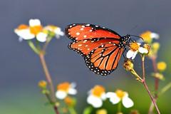 Butterly at Loxahatchee (RickKramer) Tags: butterfly florida everglades loxahatchee naturesfinest blueribbonwinner canon30d flickrsbest