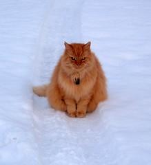 Waiting......... (larigan.) Tags: orange snow cat ginger waiting soe matti faithful supershot 14yrsold cc100 mywinners abigfave bestofcats diamondclassphotographer flickrdiamond citrit pet100 ysplix larigan fiveflickrfavs phamilton betterthangood 4uncleari gettyimagesnorwayq1