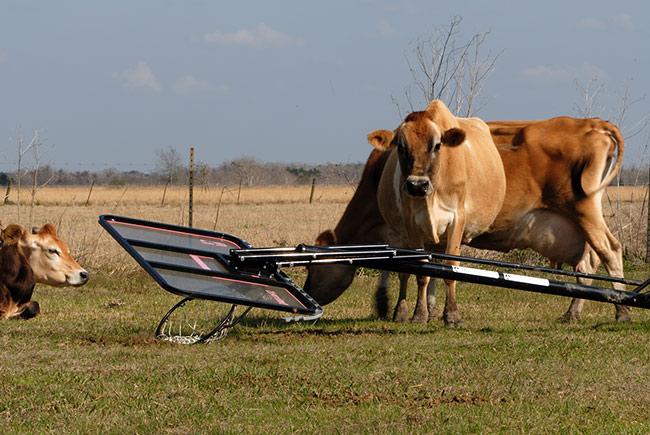 DSC_7213Jersey-cows