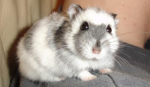 Russian Dwarf Hamster by cdrussorusso.