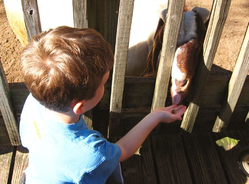 Feeding goats cocoa puffs in Sanford, FL