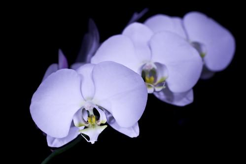 Phaleanopsis [20080217_8038]