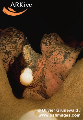 large-Female-leatherback-turtle--laying-eggs-into-egg-chamber