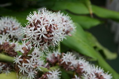 (jainnie.jenkins) Tags: flowers flower hawaii fragrant floweringtree floweringplant intoxicating