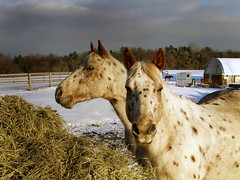 Two opinions are better than one (maggiedeephotographer) Tags: ranch winter two horses horse sun snow color beauty animal animals twins colorful farm ponies cavallo chevaux cavallos impressedbeauty maggiedeephotographer