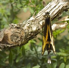 Butterfly arrowhead