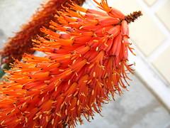 IMG_1340 (fossey) Tags: flora tropea