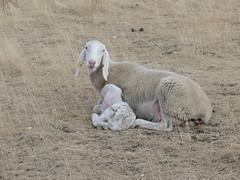 Pecore 2 (chwerner) Tags: sheep pecore castelluccio